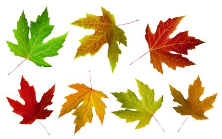 colorful autumn maple leaves iaolated on white background