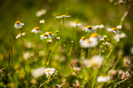 chamomile flowers in bloom on a summer meadow