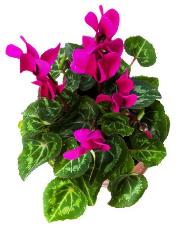 cyclamen plant isolated on white background photo