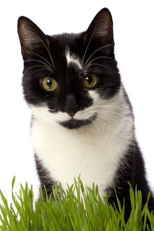 cat in grass isolated on white background photo