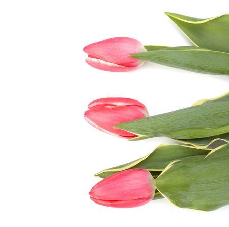 tulips  isolated on white background photo