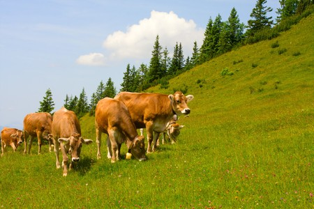 Herd of cows grazing in Alps Stock Photo - 7497913