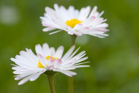 Beautiful daisies. Floral background. Shallow focus. Stock Photo - 8283934