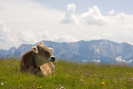 grazing cow photo