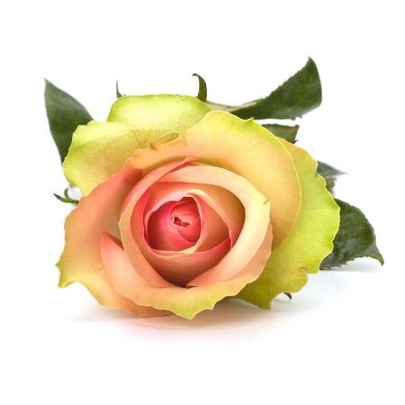 Beautiful rose isolated on white background close up photo