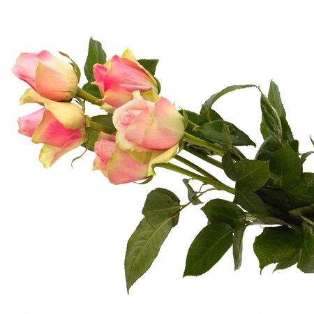 Beautiful roses isolated on white background photo