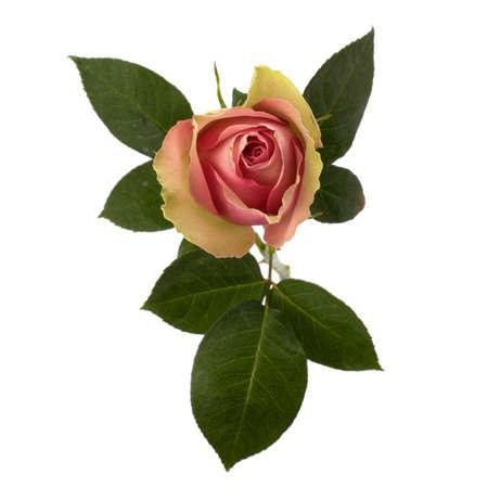 Beautiful rose   isolated on white background Stock Photo - 8281683
