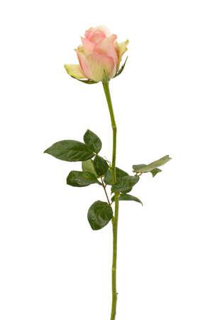 rosas amarillas: Bello Rosa aislado sobre fondo blanco Foto de archivo