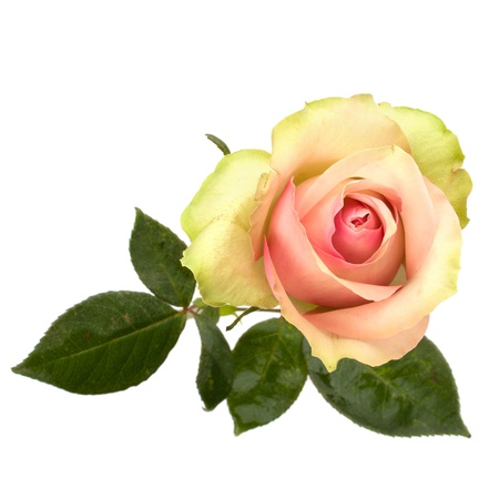 Beautiful rose   isolated on white background Stock Photo - 8283283