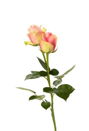 Beautiful roses   isolated on white background Stock Photo - 8281709