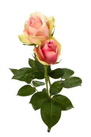 Beautiful roses   isolated on white background close up photo
