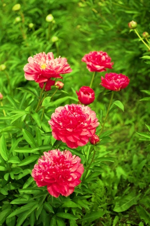 Beautiful peonies. Floral field. Shallow focus. photo