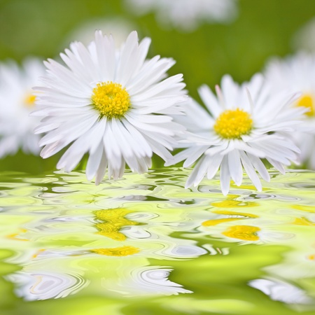 Beautiful daisies. Floral background. Shallow focus. photo
