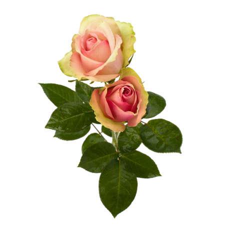 Beautiful roses   isolated on white background Stock Photo - 8527490