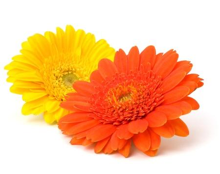 Fleurs de gerbera daisy belle isolés sur fond blanc Banque d'images