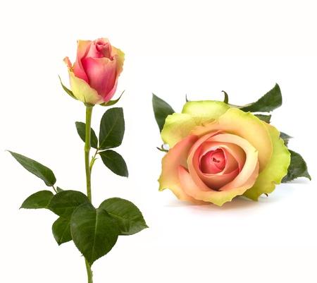 rosas amarillas: Bello Rosa aislada sobre fondo blanco Foto de archivo