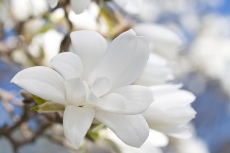 magnolia flower: Beautiful magnolia blossom close up