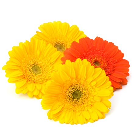 Beautiful daisy gerbera flowers isolated on white background photo