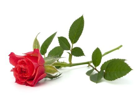 줄기: 아름다운 장미, 흰색 배경에 고립