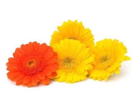 Beautiful daisy gerbera flowers isolated on white background photo