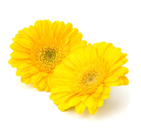 yellow gerbera isolated on: Beautiful daisy gerbera flowers isolated on white background