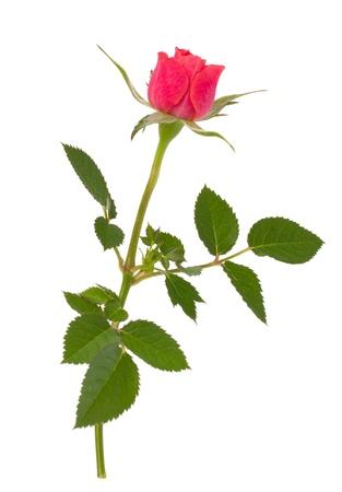 Beautiful rose   isolated on white background Stock Photo - 11447687