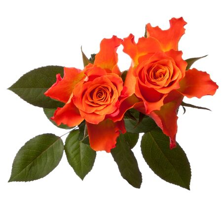 Orange roses  isolated on white background cutout photo
