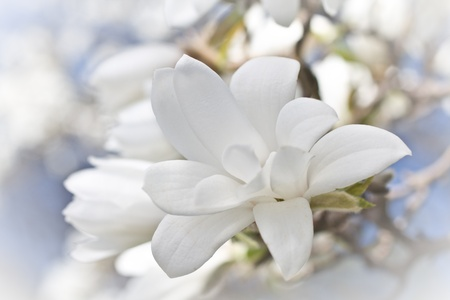 Beautiful magnolia blossom close up photo