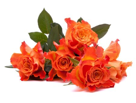 Orange roses  isolated on white background cutout Stock Photo - 13206177