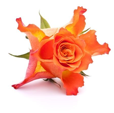 Orange rose  isolated on white background cutout Stock Photo - 13191309