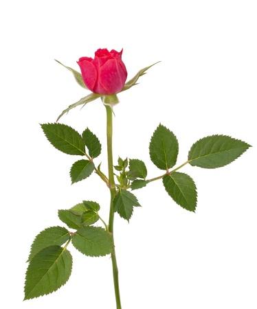 Beautiful rose   isolated on white background Stock Photo - 13189160