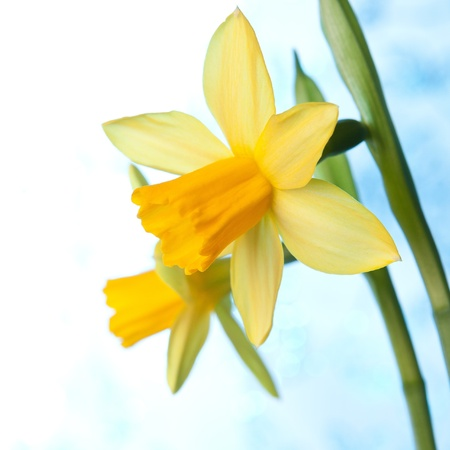 Beautiful yellow narcissus or daffodil flowers background photo