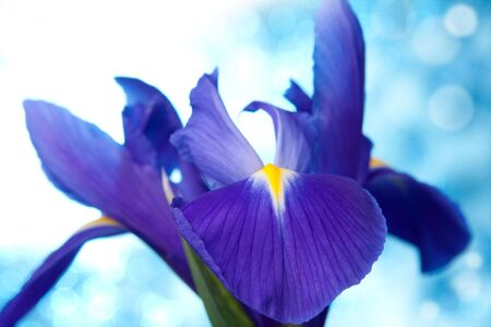 Beautiful blue iris flowers background photo