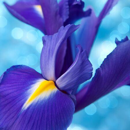 iris flower: Beautiful blue iris flowers background Stock Photo