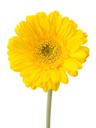 Beautiful daisy gerbera flower isolated on white background Stock Photo - 13295756