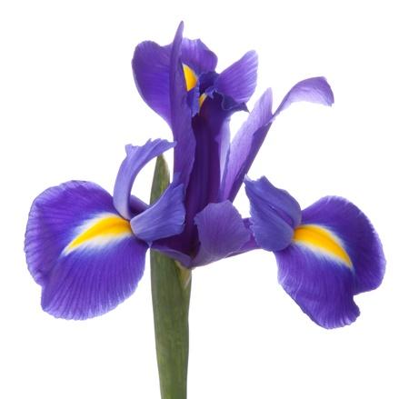 blueflag: Blue Iris o flor blueflag aisladas sobre fondo blanco Foto de archivo