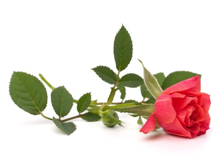 rosas rojas: Hermosa rosa sobre fondo blanco