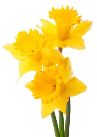 白い背景素材上に分離されて水仙花や水仙の花束