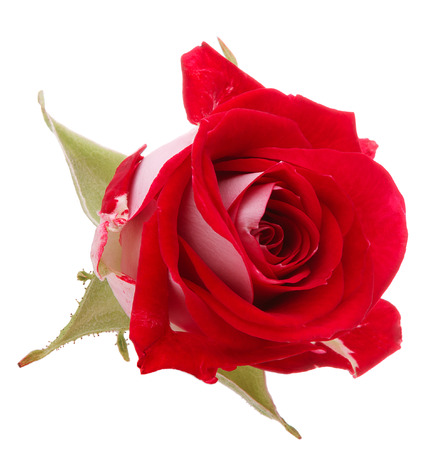 single red rose: Red rose flower head isolated on white background  Stock Photo