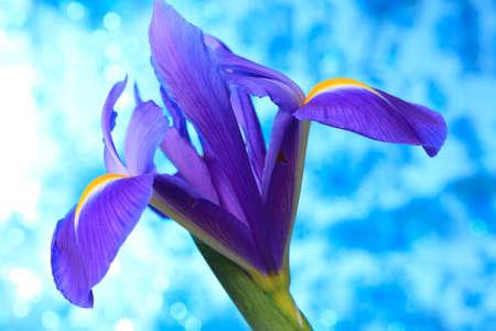 Beautiful blue iris flowers background photo