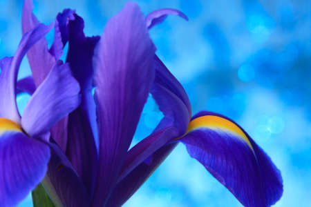 blueflag: Beautiful blue iris flowers background Stock Photo