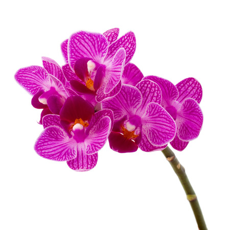 orchid: Orchid flower head bouquet  isolated on white background cutout
