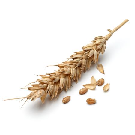 cosecha de trigo: oído del trigo aislado en el fondo blanco