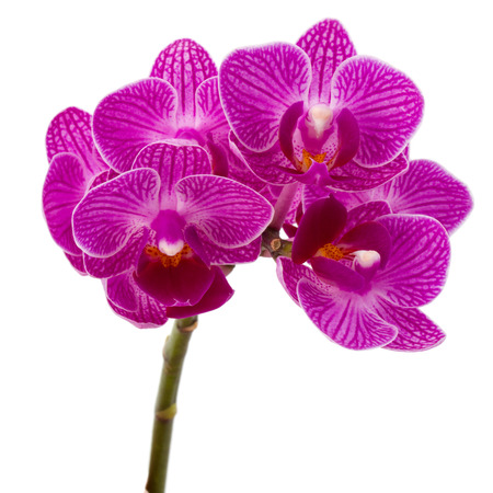 Orchid flower head bouquet  isolated on white background