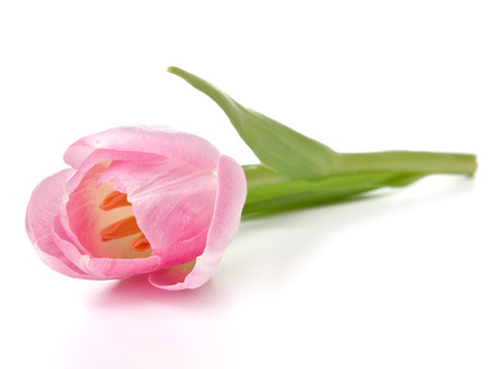 matherday: Pink tulip isolated on white background Stock Photo