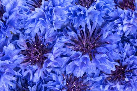 centaurea: Blue Cornflower Herb or bachelor button flower heads background