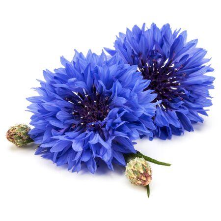 青いコーンフラワー ハーブまたは独身ボタン花頭ホワイト バック グラウンド素材に分離 写真素材