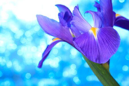 Beautiful blue iris flowers background Stock Photo