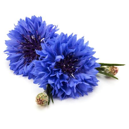 Blauer Cornflower Herb oder Junggesellen-Taste Blume Kopf isoliert auf weißem Hintergrund Ausschnitt