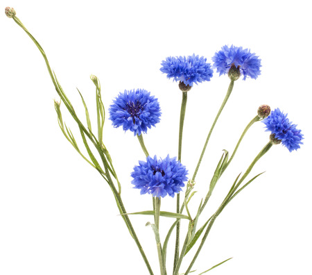 fiordaliso: Blue Cornflower Herb or bachelor button flower bouquet isolated on white background cutout